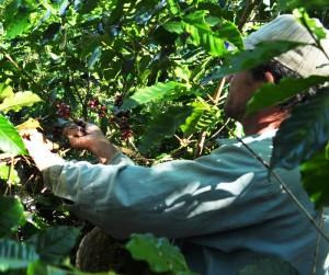 El cambio climático podría golpear los cultivos de café.