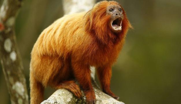 Un mono león dorado, también llamado tití leoncito. EFE