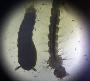 El zancudo Aedes aegypti también transmite el virus. /DEM