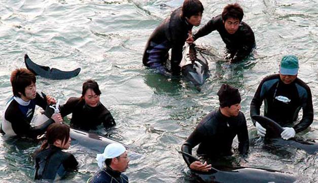 caza-de-delfines-japon