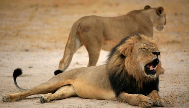 La foto muestra al famoso león de Zimbabue junto a una leona. EFE