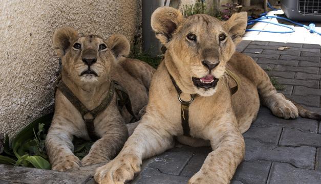cachorros-de-leon