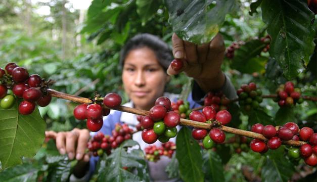 Campesina peruana en una plantación de café. Foto/EFE