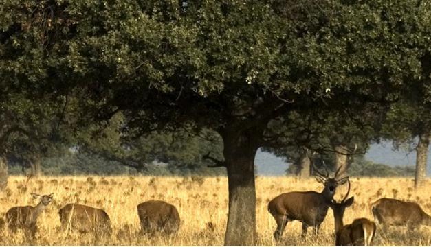 Berrea de ciervos en Cabañeros. Foto/EFE