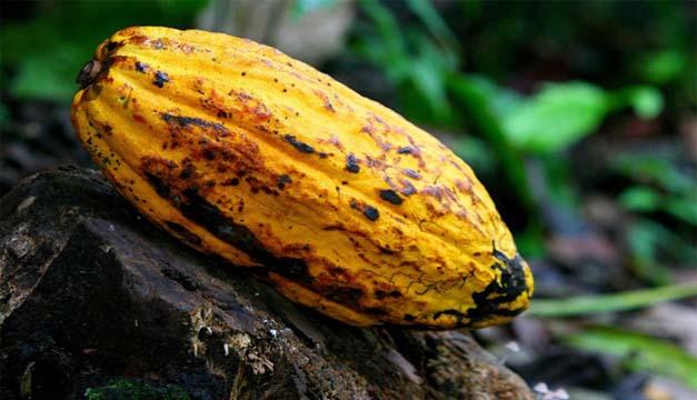Detalle de una semilla de cacao. EFE/Agro.
