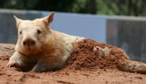 Wombat nariz peluda