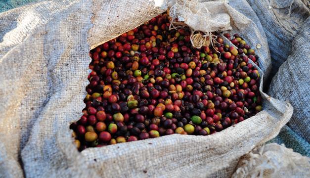 Cosecha de café, Cooperativa de Cuzcachapa. Archivo/DEM