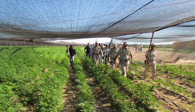 Algunas plantaciones de marihuana encontradas. Foto/EFE