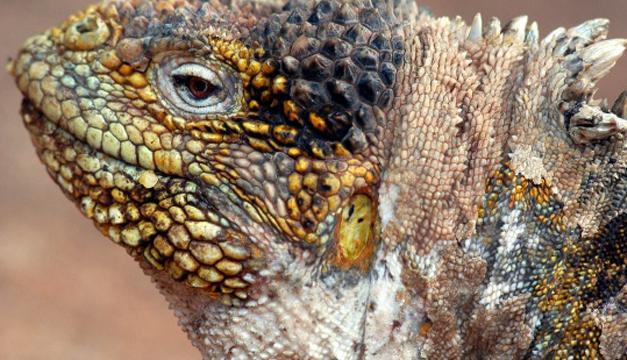 Iguana terrestre del Parque Nacional Galápagos. EFE