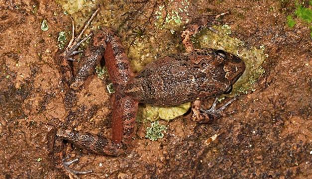 NUeva-especie-de-rana-en-Bolivia