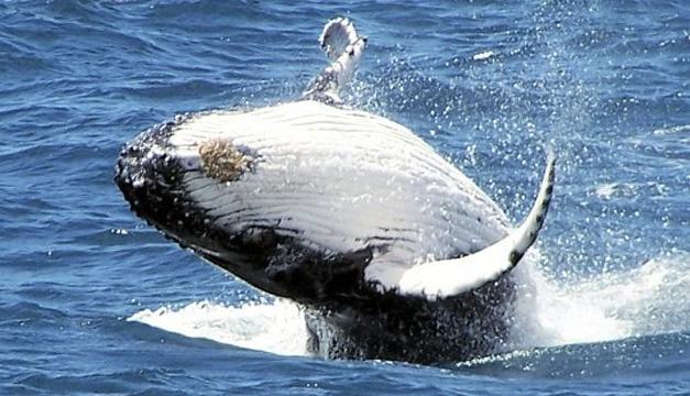 Ejemplar de una ballena azul/EFE