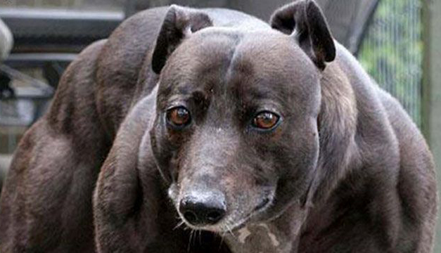Caso de Wendy, perra que presentaba un aumento de musculatura por la genética.