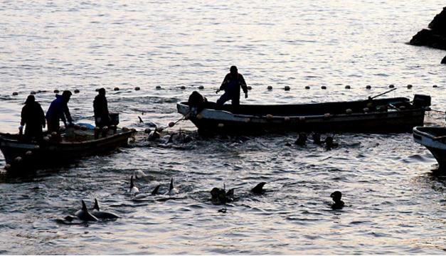 Pescadores de Taiji atrapan con sus redes a un grupo de delfines.EFE