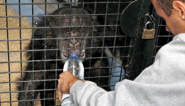 Un cuidador da de beber a un chimpancés. Foto: EFE