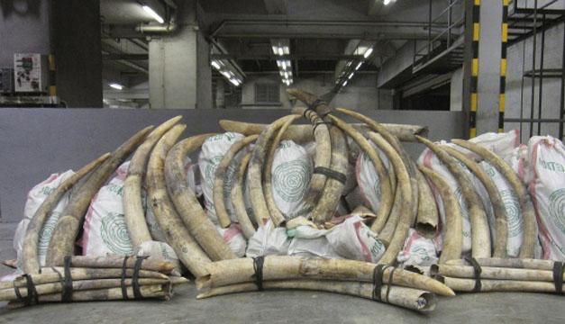 Un decomiso de marfil ilegal en una aduana china. EFE