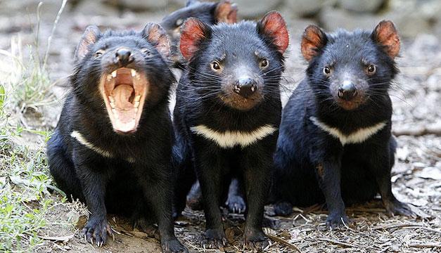 Demonios-de-Tasmania