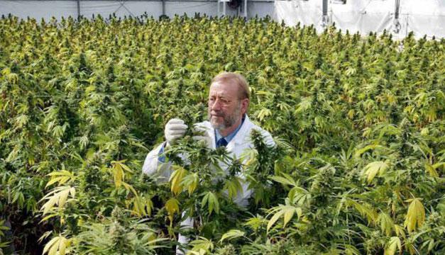 Produccion-de-marihuana
