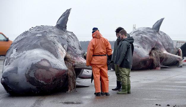 Cachalotes-muertos