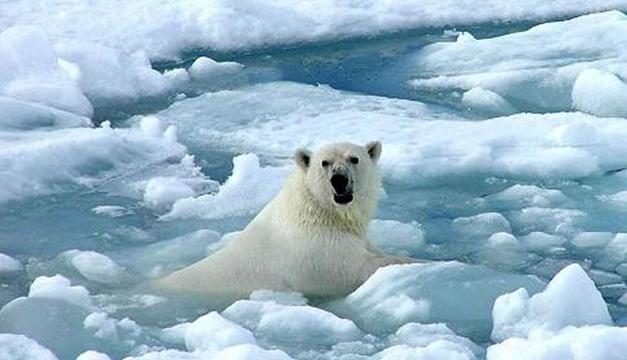 Foto de referencia. Oso polar en las frías aguas del Ártico.