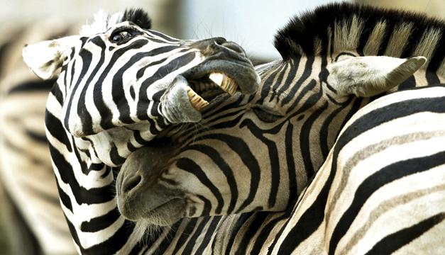Cebras-EFE