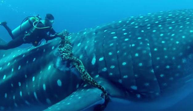 Tiburon ballena-rescate