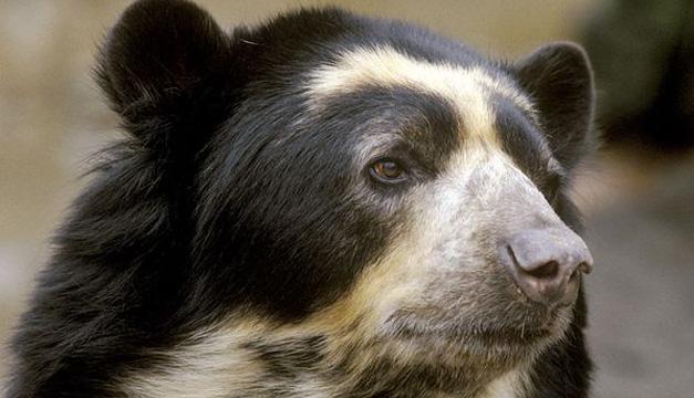 oso de anteojos-Agencia
