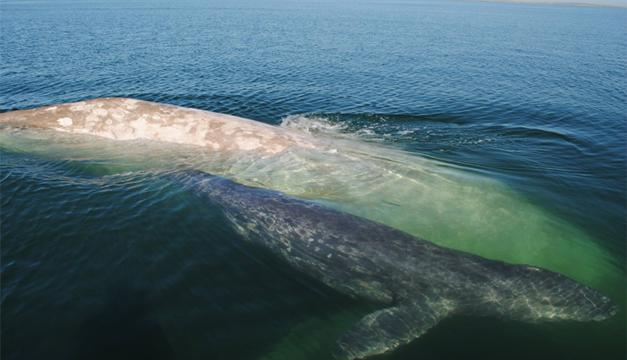 Fotografía de la ballena Albina. Agencia/EFE