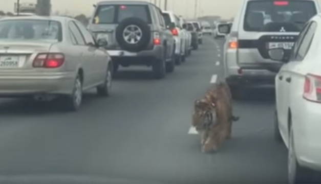 Tigre en medio de carros