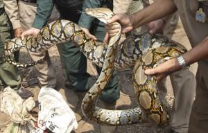 serpiente-piton-camboya