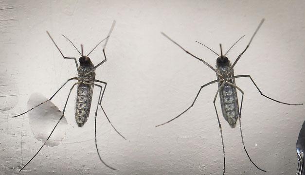 zancudo-dengue-zika