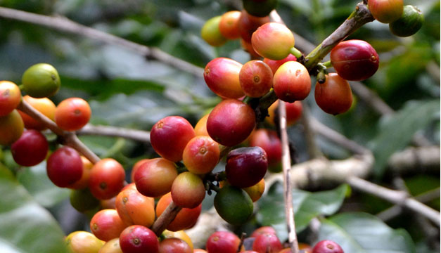 Cafe-cultivo