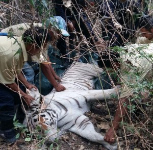 Tigre-de-Bengala-Furesa
