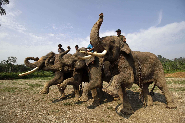 """(160403) -- ACEH, abril 3, 2016 (Xinhua) -- Imagen del 27 de marzo de 2016 de elefantes de Sumatra (Elephas Maximus Sumatranus) siendo entrenados en el Centro de Conservación de Elefantes, en Aceh, Indonesia. El Fondo Mundial para la Naturaleza (WWF, por sus siglas en inglés) anunció en 2012 que el elefante de Sumatra ha rebajado su condición de """"extinción"""" a """"peligro crítico"""" por la Unión Internacional de Conservación de la Naturaleza (IUCN, por sus siglas en inglés) después de perder cerca del 70 por ciento de su hábitat y la mitad de su población en una generación. El declive se debe principalmente a que el hábitat del elefante ha sido deforestado o convertido en plantaciones agrícolas. (Xinhua/Junaidi) (jp) (fnc)"""