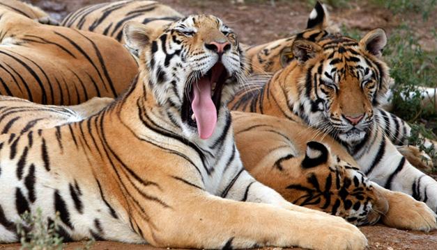 tigres-efe
