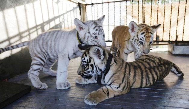 Tigres-en-circo