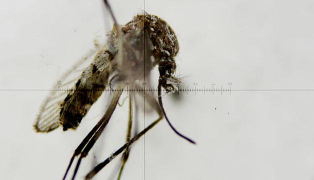 Zancudo-zika