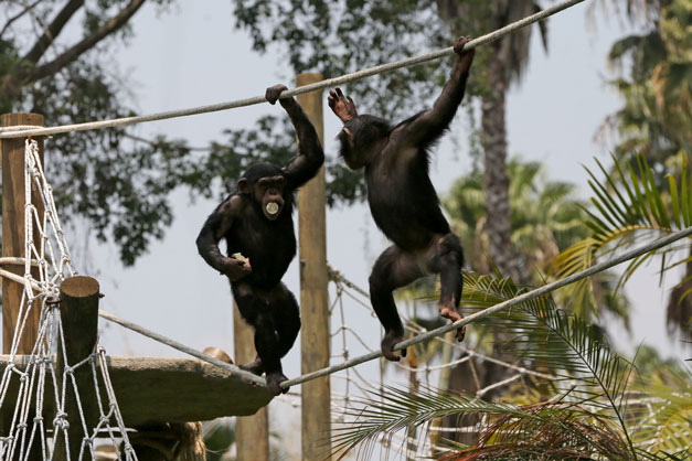 chimpances-guate-2