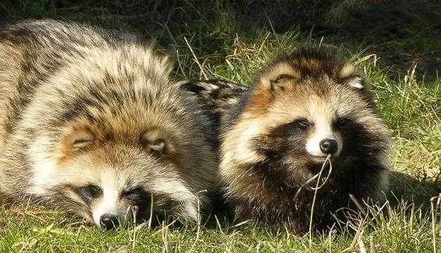 perro-mapache