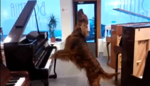 perro toca piano