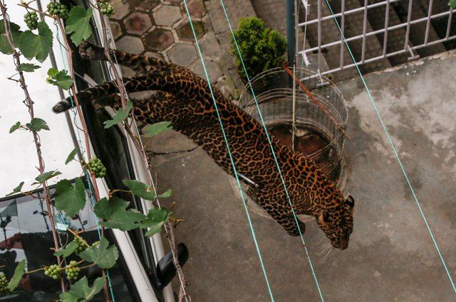 KAT10 KATMANDÚ (NEPAL) 01/06/2016.- Un leopardo salvaje corre por el recinto de una vivienda antes de ser anestesiado por trabajadores del Zoo Central de Katmandú (Nepal) hoy, 1 de junio de 2016. Según informan medios locales, el leopardo entró en la vivienda y fue finalmente capturado por trabajadores del zoo y la policía sin que nadie resultase herido. EFE/Narendra Shrestha