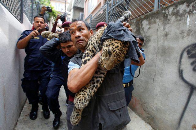 KAT09 KATMANDÚ (NEPAL) 01/06/2016.- Trabajadores del Zoo Central de Katmandú cargan en brazos con un leopardo salvaje anestesiado tras ser capturado en una vivienda en Katmandú (Nepal) hoy, 1 de junio de 2016. Según informan medios locales, el leopardo entró en la vivienda y fue finalmente capturado por trabajadores del zoo y la policía sin que nadie resultase herido. EFE/Narendra Shrestha