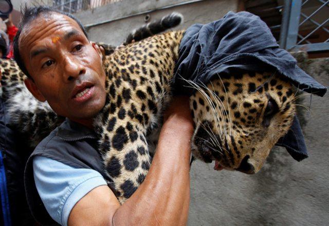 KAT05 KATMANDÚ (NEPAL) 01/06/2016.- Un trabajador del Zoo Central de Katmandú carga en brazos con un leopardo salvaje anestesiado tras ser capturado en una vivienda en Katmandú (Nepal) hoy, 1 de junio de 2016. Según informan medios locales, el leopardo entró en la vivienda y fue finalmente capturado por trabajadores del zoo y la policía sin que nadie resultase herido. EFE/Narendra Shrestha