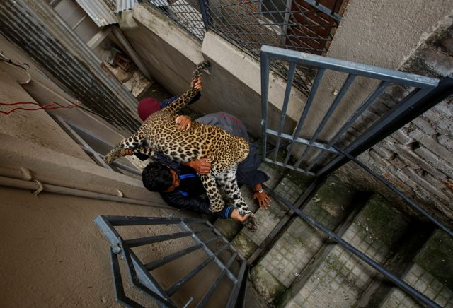 KAT08 KATMANDÚ (NEPAL) 01/06/2016.- Trabajadores del Zoo Central de Katmandú cargan en brazos con un leopardo salvaje anestesiado tras ser capturado en una vivienda en Katmandú (Nepal) hoy, 1 de junio de 2016. Según informan medios locales, el leopardo entró en la vivienda y fue finalmente capturado por trabajadores del zoo y la policía sin que nadie resultase herido. EFE/Narendra Shrestha