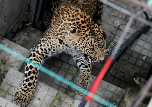 KAT01 KATMANDÚ (NEPAL) 01/06/2016.- Un leopardo salvaje corre por el recinto de una vivienda antes de ser anestesiado por trabajadores del Zoo Central de Katmandú (Nepal) hoy, 1 de junio de 2016. Según informan medios locales, el leopardo entró en la vivienda y fue finalmente capturado por trabajadores del zoo y la policía sin que nadie resultase herido. EFE/Narendra Shrestha