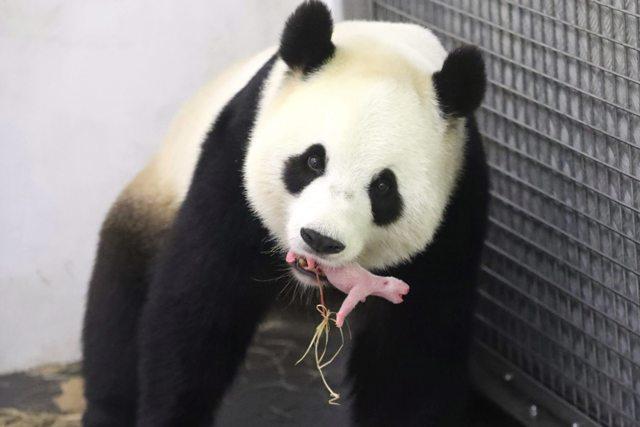 BEL05 BRUGELETTE (BÉLGICA) 02/06/2016.- Fotografía facilitada por el zoo Pairi Daiza el 2 de junio de 2016, muestra al oso panda Hao Hao mientras sostiene con la boca a su cría en el zoo Pairi Daiza en Brugelette, Bélgica. El país europeo se convierte en el tercero del continente donde ha nacido una cría de oso panda. Esta especie se encuentra en peligro de extinción y aproximadamente solo 2.000 se encuentran en libertad. EFE/Benoit Bouchez / Pairi Daiza / H CRÉDITO OBLIGATORIO/SÓLO USO EDITORIAL/PROHIBIDO SU ARCHIVO/PROHIBIDA SU VENTA