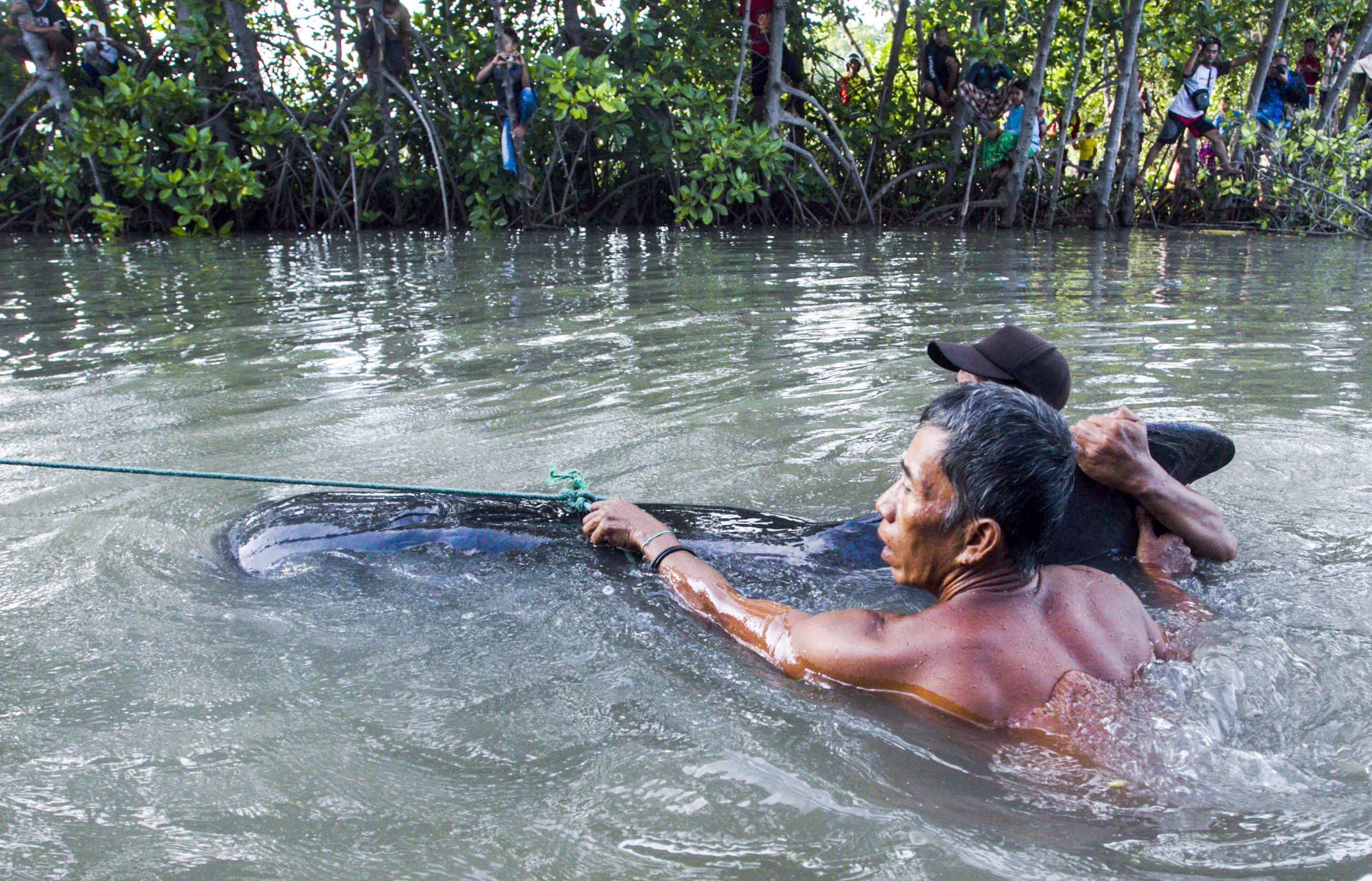FUL06 PROBOLINGGO (INDONESIA) 16/06/2016.- Dos hombres retiran el cuerpo sin vida de una ballena piloto varada en la costa de Probolinggo (Indonesia) hoy, 16 de junio de 2016. Un total de 32 ballenas pilotos han sido encontradas varadas en la costa, ocho de ellas muertas. En total, 24 ballenas han sido salvadas y soltadas al mar. EFE/Fully Handoko