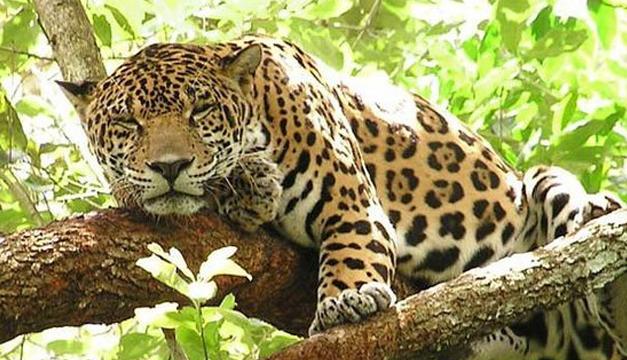 jaguar-efe