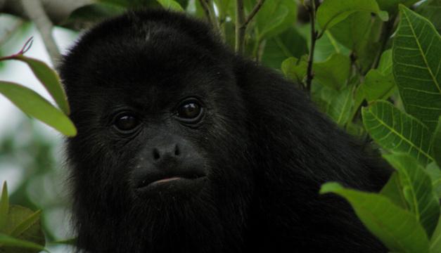 monos Saraguate