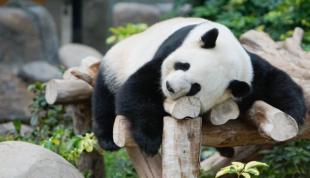 panda-xinhua
