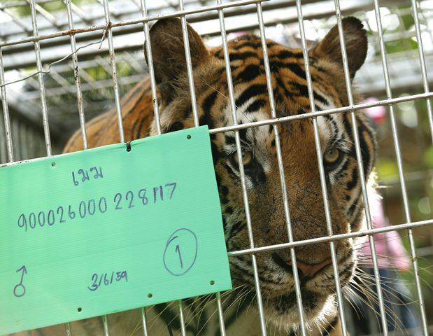 """TAI28 SAI YOK (TAILANDIA) 03/06/2016.- Un tigre macho llamado """"Mak"""" observa los veterinarios dentro de una jaula en el templo del tigre en la provincia de Kanchanaburi, Tailandia, hoy, 3 de junio de 2016. Miembros del Departamento de Conservación de Parques Naturales encontraron 40 crías de tigre muertas escondidas dentro de un congelador el pasado miércoles. Entre los restos mortales de los animales también se han encontrado recipientes con intestinos y otros órganos que de confirmarse que son recientes apoyarían las acusaciones de los activistas. El templo era un reclamo para turistas que se paseaban y se hacían fotos con los animales, motivo por el que también ha sido criticado durante años por organizaciones defensoras de animales.EFE/Narong Sangnak"""